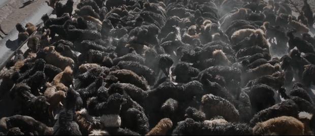 Thảm cảnh của chó ngao Tây Tạng - Ảnh 1.