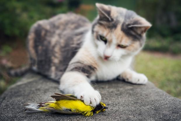 Mèo đang giết mọi loài động vật ở Úc, cơ quan chức năng không biết làm gì để ngăn cản - Ảnh 1.