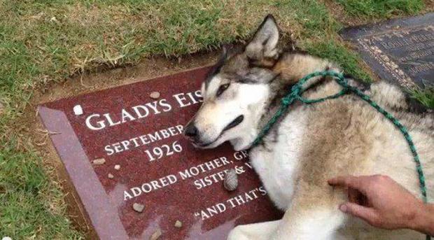 Clip chú chó nằm bệt bên mộ, khóc ròng vì cái chết của người thân khiến bao người thổn thức - Ảnh 2.