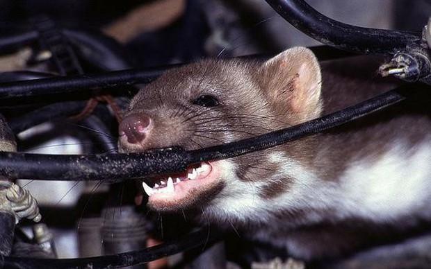 Land Rover bạc tỉ tan tành vì 1 con chuột: Đấu trí suốt 5 ngày không bắt nổi thủ phạm - Ảnh 2.