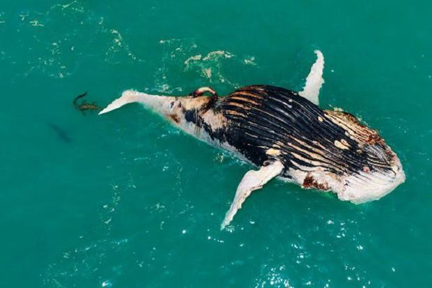 Thấy cá voi nổi lềnh bềnh trên biển, người đàn ông lại gần mới giật mình vì cảnh tượng hãi hùng - Ảnh 1.
