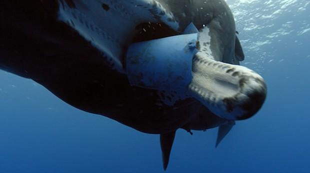 Hải âu chết vì nuốt bàn chải, cá voi cố ăn chiếc xô nhựa: Nỗi đau của động vật vì ô nhiễm môi trường biển - Ảnh 4.