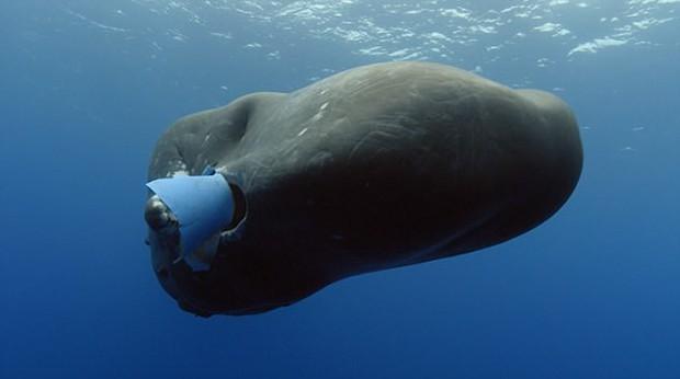 Hải âu chết vì nuốt bàn chải, cá voi cố ăn chiếc xô nhựa: Nỗi đau của động vật vì ô nhiễm môi trường biển - Ảnh 8.