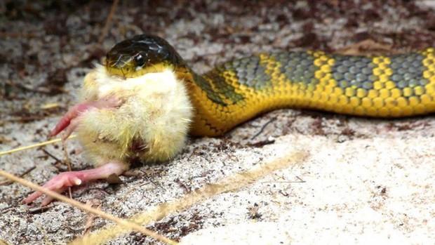 Bí ẩn hòn đảo có hàng trăm con rắn hổ cực độc bị mù: Nhà làm phim BBC giải mã thành công - Ảnh 2.