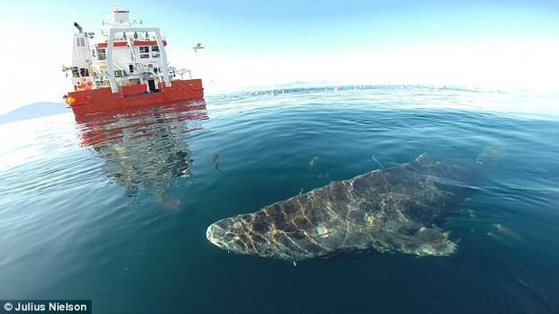 Cá mập Greenland trở thành động vật có xương sống thọ nhất thế giới: Một số con có thể đã từng sống vào thời... Nguyễn Du - Ảnh 1.