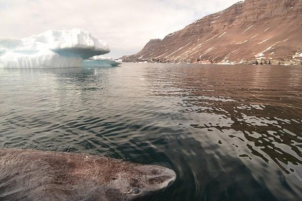 Cá mập Greenland trở thành động vật có xương sống thọ nhất thế giới: Một số con có thể đã từng sống vào thời... Nguyễn Du - Ảnh 3.