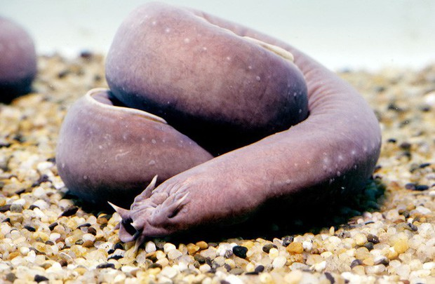 Sinh vật kỳ dị sống ở đáy đại dương, bị cá mập cắn xé cũng không hề hấn gì! - Ảnh 2.