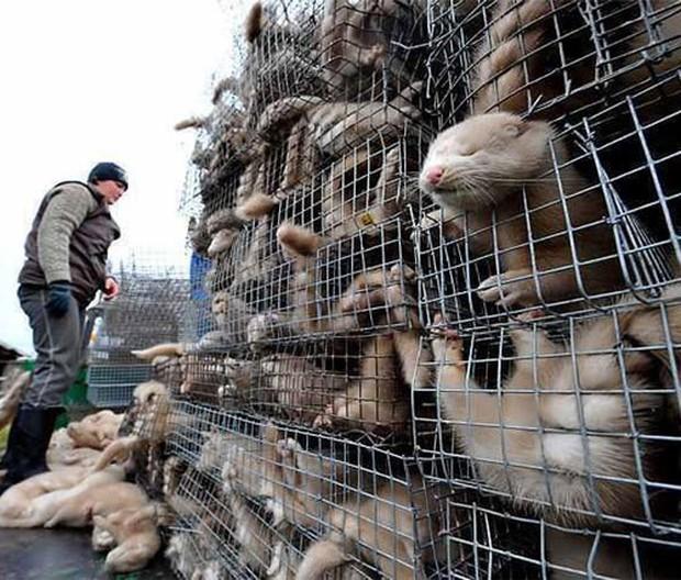 Đằng sau những món quà áo lông đắt tiền dịp Giáng sinh là số phận đau thương của hàng triệu con cáo, chồn - Ảnh 11.