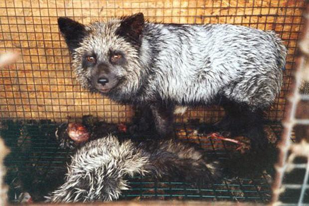 Đằng sau những món quà áo lông đắt tiền dịp Giáng sinh là số phận đau thương của hàng triệu con cáo, chồn - Ảnh 10.