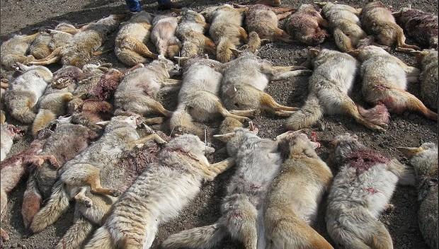 Đằng sau những món quà áo lông đắt tiền dịp Giáng sinh là số phận đau thương của hàng triệu con cáo, chồn - Ảnh 7.
