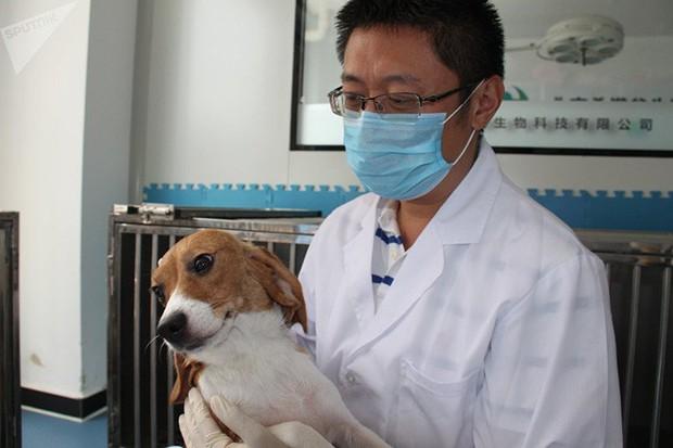 Trung Quốc đang nhân bản chó biến đổi gen để làm gì? - Ảnh 1.