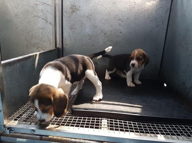 Trung Quốc đang nhân bản chó biến đổi gen để làm gì? - Ảnh 2.