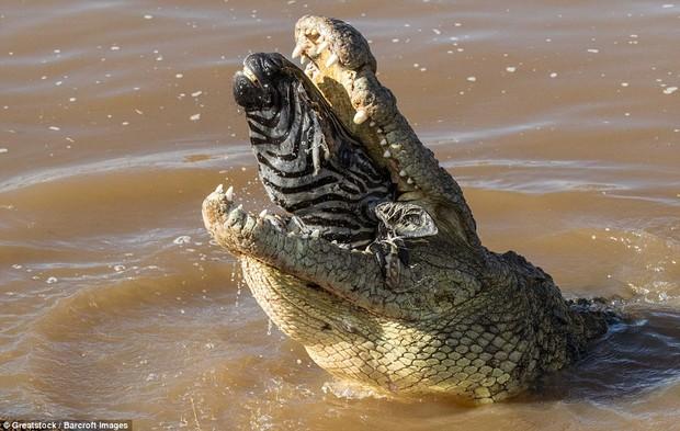 Nhìn bức ảnh cá sấu gặm đầu ngựa vằn là đủ hiểu, thế giới động vật cũng tàn khốc thế nào - Ảnh 7.