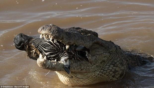 Nhìn bức ảnh cá sấu gặm đầu ngựa vằn là đủ hiểu, thế giới động vật cũng tàn khốc thế nào - Ảnh 8.