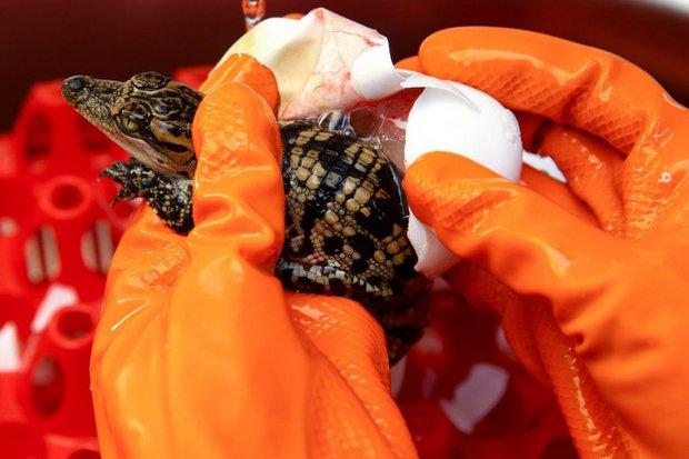 Từ trang trại đến nhà máy: Những hình ảnh rùng rợn về ngành công nghiệp nuôi cá sấu Thái Lan - Ảnh 2.
