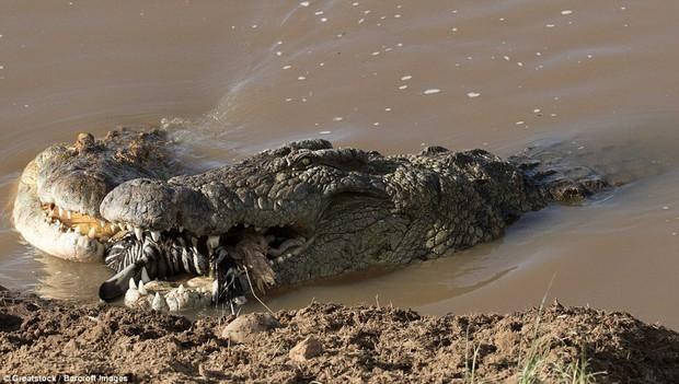 Nhìn bức ảnh cá sấu gặm đầu ngựa vằn là đủ hiểu, thế giới động vật cũng tàn khốc thế nào - Ảnh 3.