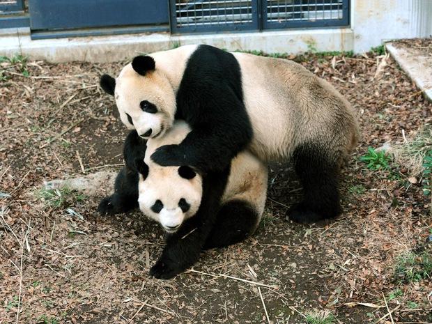 Cả nước Nhật sốt xình xịch vì 1 con gấu trúc đẻ, giá trị nền kinh tế bỗng dưng tăng 5,5 nghìn tỷ đồng chỉ trong 1 ngày - Ảnh 3.