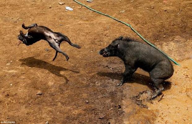 Lợn rừng đại chiến chó dữ: Hung hăng quá lại ăn đòn no! - Ảnh 3.