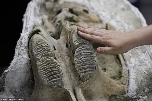 Đào đường hầm, công nhân ngỡ ngàng khi tìm thấy hóa thạch động vật 10,000 năm từ kỷ Băng Hà - Ảnh 3.