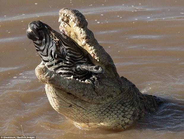 Nhìn bức ảnh cá sấu gặm đầu ngựa vằn là đủ hiểu, thế giới động vật cũng tàn khốc thế nào - Ảnh 4.