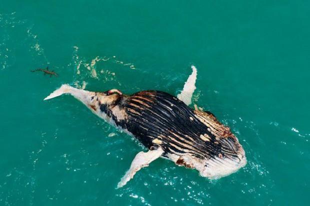 Thấy cá voi nổi lềnh bềnh trên biển, người đàn ông lại gần mới giật mình vì cảnh tượng hãi hùng - Ảnh 4.