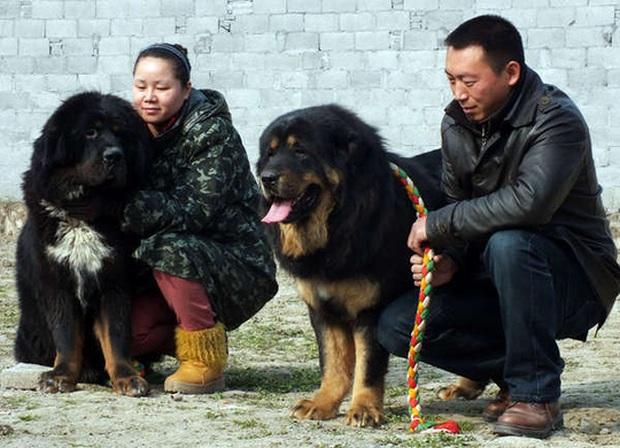 Thảm cảnh của chó ngao Tây Tạng - Ảnh 5.