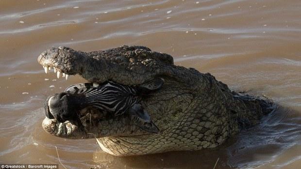 Nhìn bức ảnh cá sấu gặm đầu ngựa vằn là đủ hiểu, thế giới động vật cũng tàn khốc thế nào - Ảnh 5.