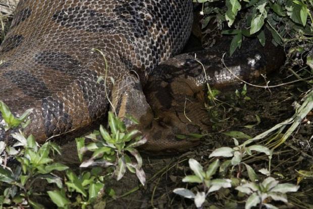 Những hình ảnh chân thực nhất về quái vật sông Amazon từ người thợ lặn dũng cảm không bảo hộ - Ảnh 5.
