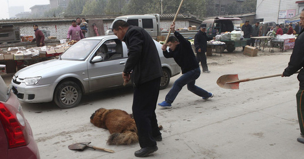 Thảm cảnh của chó ngao Tây Tạng - Ảnh 7.