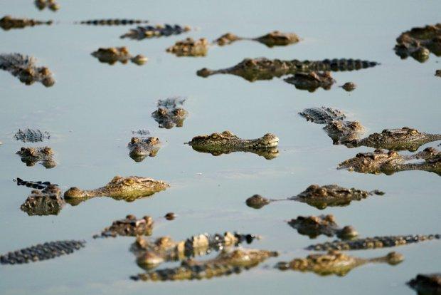 Từ trang trại đến nhà máy: Những hình ảnh rùng rợn về ngành công nghiệp nuôi cá sấu Thái Lan - Ảnh 6.