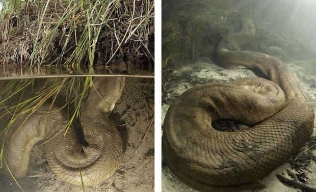 Những hình ảnh chân thực nhất về quái vật sông Amazon từ người thợ lặn dũng cảm không bảo hộ - Ảnh 6.