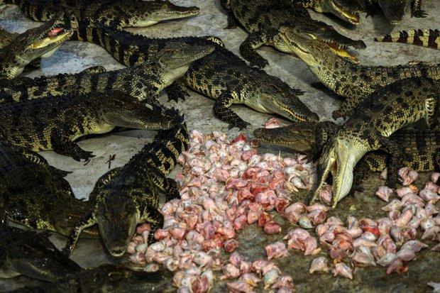 Từ trang trại đến nhà máy: Những hình ảnh rùng rợn về ngành công nghiệp nuôi cá sấu Thái Lan - Ảnh 4.