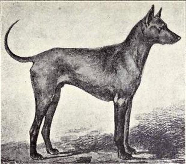 Việt Nam đang sở hữu một trong những loài chó hiếm và đắt nhất trên thế giới mà không ai biết - Ảnh 6.
