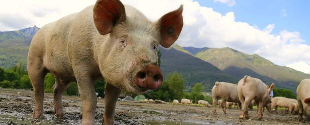 Loài lợn - nguồn thực phẩm nuôi dưỡng chúng ta hàng ngày sẽ có thể trở thành cứu tinh trong Y học - Ảnh 1.