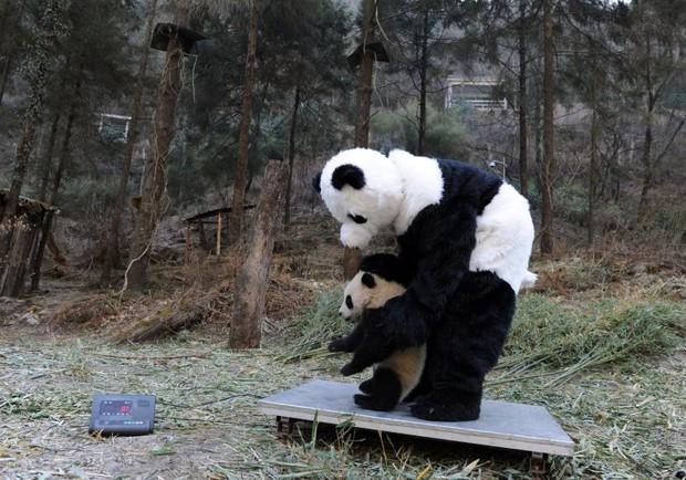 Đây chắc chắn là công việc tuyệt nhất thế giới: Giả làm gấu trúc để chơi đùa, chăm sóc lũ tiểu yêu - Ảnh 3.