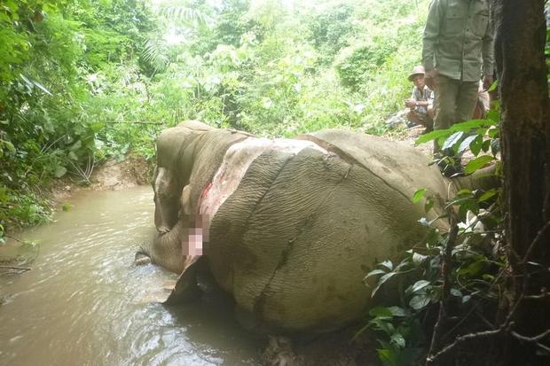 Thảm cảnh những chú voi châu Á: Hết chặt ngà đến bị lột da dã man để làm đồ trang sức - Ảnh 1.