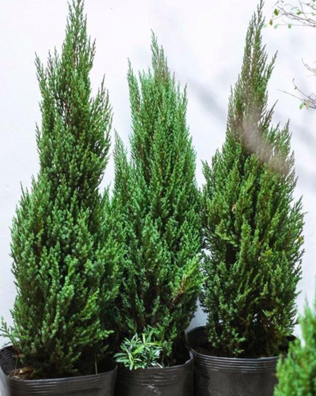 Noel năm nay, giới trẻ hai miền thi nhau mua cây tùng về chăm và chụp ảnh sống ảo - Ảnh 9.