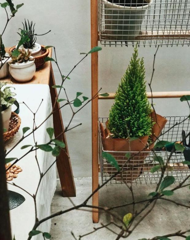Noel năm nay, giới trẻ hai miền thi nhau mua cây tùng về chăm và chụp ảnh sống ảo - Ảnh 14.
