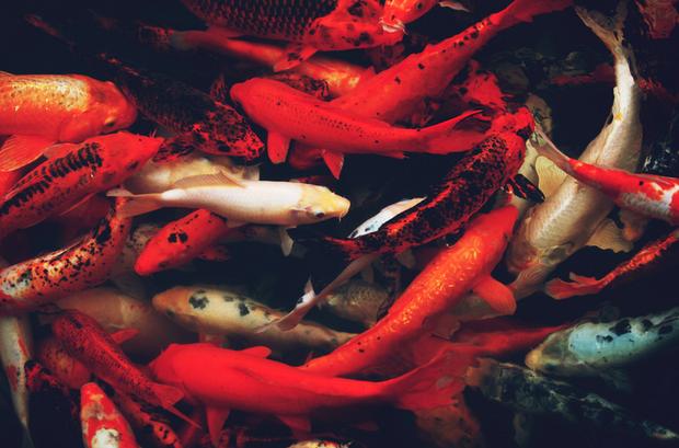 Cá Koi của Nhật Bản có thể đắt tiền đến mức nào? - Ảnh 2.