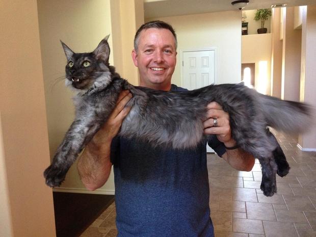 Chân dung 17 con mèo to xác khiến con người cũng phát hoảng - Ảnh 17.