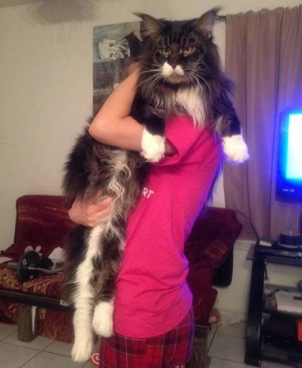 Chân dung 17 con mèo to xác khiến con người cũng phát hoảng - Ảnh 19.