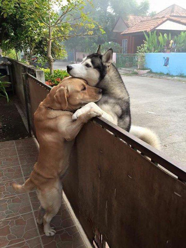 Sau nhiều ngày cô đơn, chú chó husky lao sang nhà hàng xóm, trèo lên hàng rào để ôm chặt anh bạn thân - Ảnh 1.