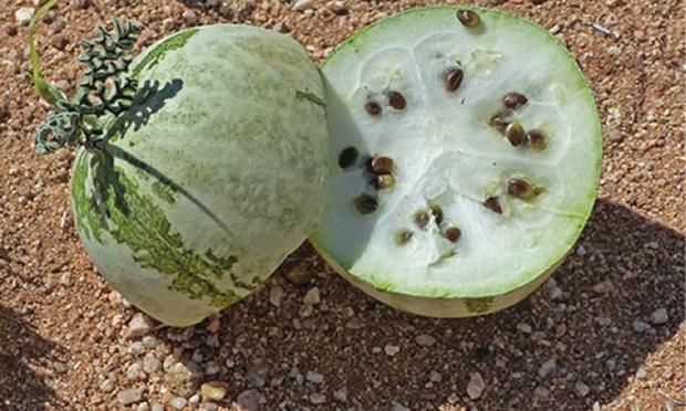 Tổ tiên của các loại rau quả mà ta vẫn ăn ngày nay trông như thế nào? - Ảnh 2.
