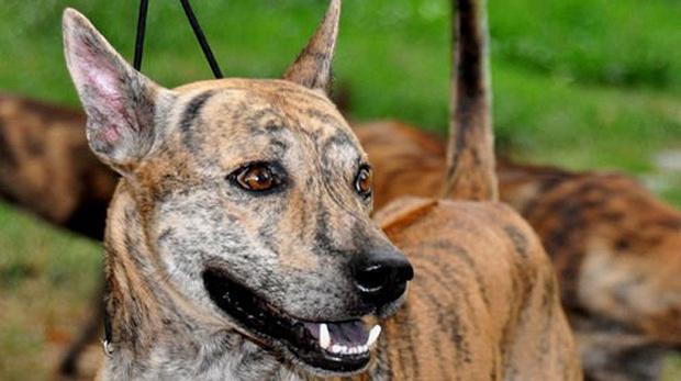 Việt Nam đang sở hữu một trong những loài chó hiếm và đắt nhất trên thế giới mà không ai biết - Ảnh 3.