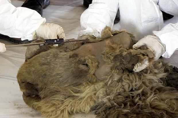 Đây là xác ướp tê giác duy nhất còn nguyên vẹn từ Kỷ Băng hà, bạn sẽ cực bất ngờ khi biết hình ảnh phục dựng - Ảnh 2.