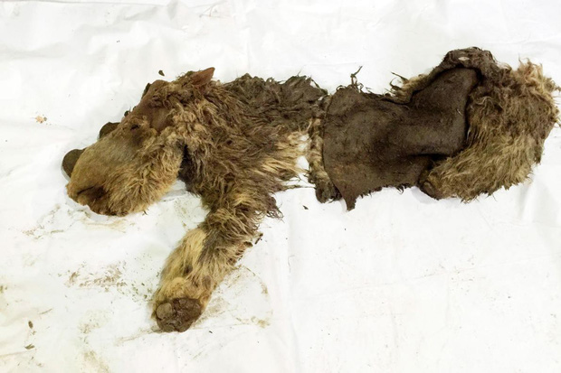 Đây là xác ướp tê giác duy nhất còn nguyên vẹn từ Kỷ Băng hà, bạn sẽ cực bất ngờ khi biết hình ảnh phục dựng - Ảnh 1.