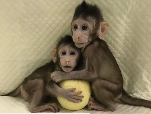 Các nhà khoa học Trung Quốc vừa nhân bản thành công khỉ - Ảnh 1.