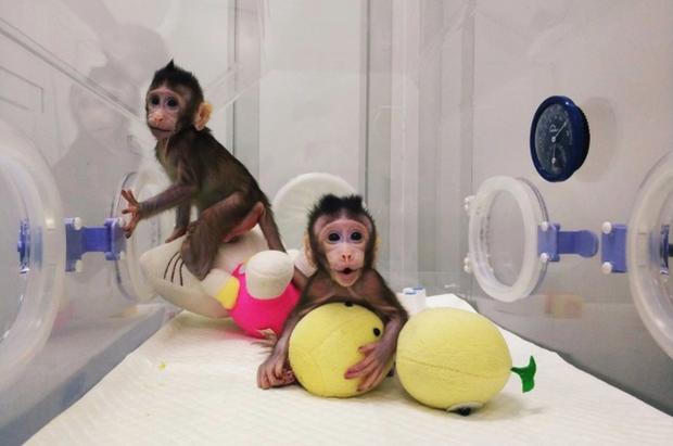 Các nhà khoa học Trung Quốc vừa nhân bản thành công khỉ - Ảnh 2.