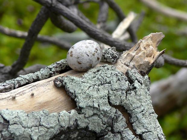 Loài chim lười nhất thế giới: Đẻ trứng trên cành cây, rơi vỡ đẻ quả khác - Ảnh 2.