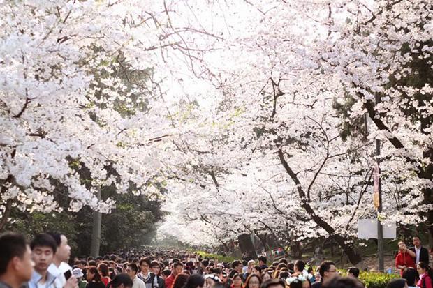 Mê mệt với vẻ đẹp tựa tranh vẽ của ngôi trường được mệnh dành là Đại học hoa anh đào ở Trung Quốc - Ảnh 4.